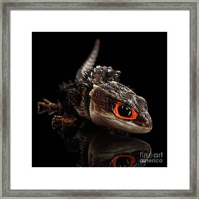 Closeup Red-eyed Crocodile Skink, Tribolonotus Gracilis Framed Print