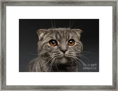 Closeup Scottish Fold Cat On Black Framed Print by Sergey Taran