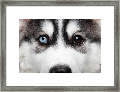 Closeup Siberian Husky Puppy Different Eyes Framed Print by Sergey Taran
