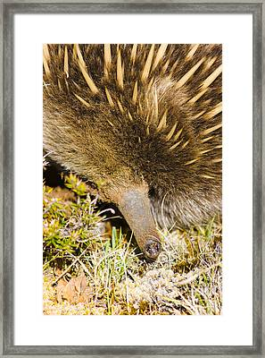 Closeup Wildlife Photo On The Snout Of An Echidna Framed Print by Jorgo Photography - Wall Art Gallery