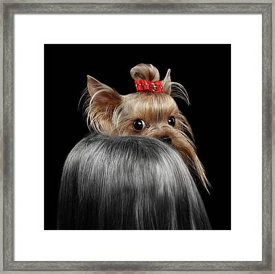 Closeup Yorkshire Terrier Dog, Long Groomed Hair Pity Looking Back Framed Print by Sergey Taran