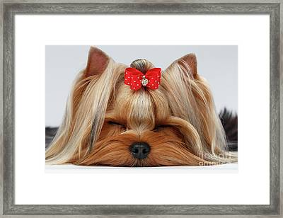 Closeup Yorkshire Terrier Dog With Closed Eyes Lying On White  Framed Print