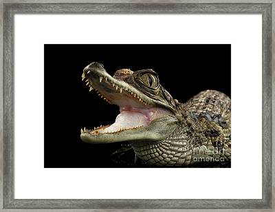 Closeup Young Cayman Crocodile, Reptile With Opened Mouth Isolated On Black Background Framed Print
