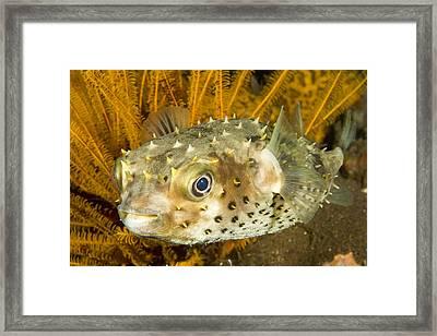 Closeupf Of A Yellowspotted Burrfish Framed Print by Tim Laman