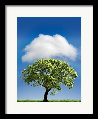 Oak Tree Framed Prints