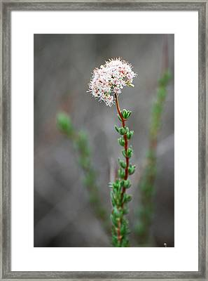 Cloud Puff Wildflower Framed Print by Jean Booth