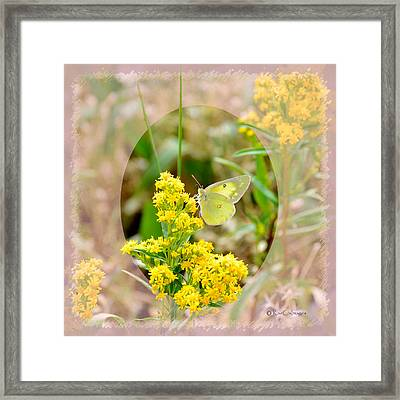 Clouded Sulphur Butterfly Sipping Nectar Framed Print