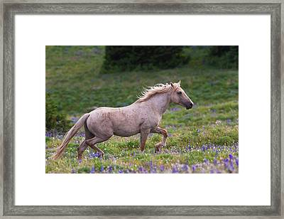 Cloud- Wild Stallion Of The West Framed Print