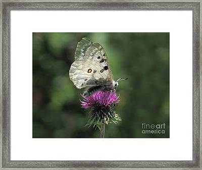 Framed Print featuring the photograph Clouded Apollo Butterfly by Jacqi Elmslie