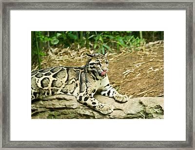 Clouded Leopard 1 Framed Print