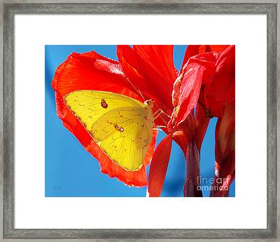 Cloudless Sulphur Butterfly Framed Print by Anita Faye