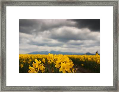 Framed Print featuring the photograph Cloudy With A Chance Of Daffodils by Erin Kohlenberg