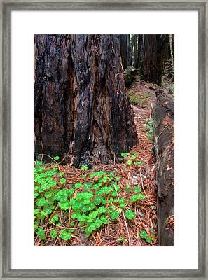 Clover And Redwood Framed Print by Charlie Hunt