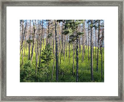 Clover In Pines Framed Print by Marion Muhm