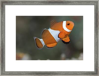 Clown Anemonefish (amphiprion Ocellaris) Framed Print by Steven Trainoff Ph.D.