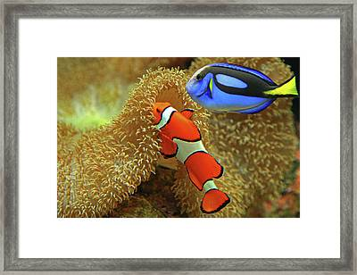Clownfish And Regal Tang Framed Print