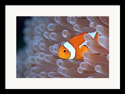 Clown Fish Photographs Framed Prints