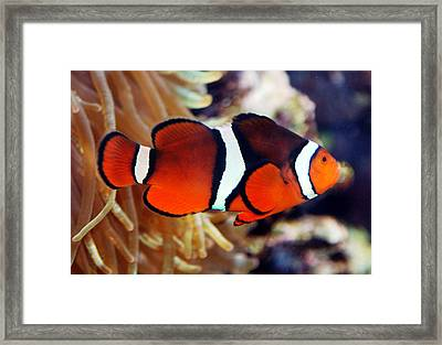 Framed Print featuring the photograph Clownfish by Kathleen Stephens