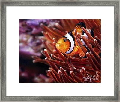Clownfish Framed Print