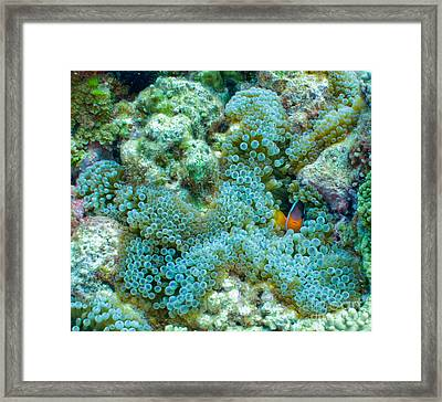 Clownfish Peek-a-boo Framed Print