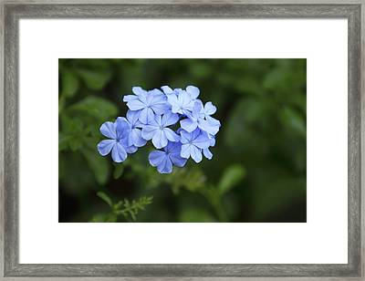 Cluster Of Blue Phlox Framed Print by Linda Phelps