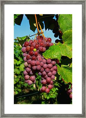 Cluster Of Grapes Ripe For Harvesting Framed Print by Panoramic Images