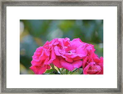 Cluster Of Roses Framed Print by Ruth Housley