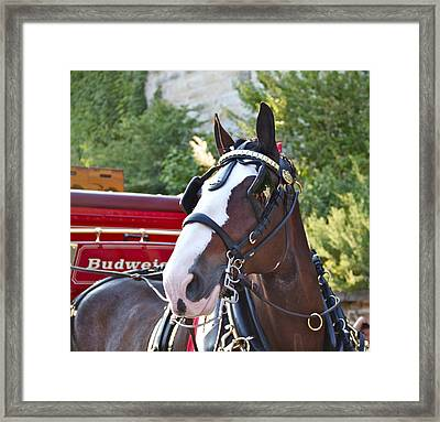 Clydesdale At Esp Framed Print by Alice Gipson