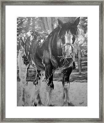 Clydesdale Framed Print by Darcie Duranceau