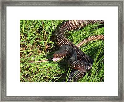 Coachwhip Snake In Grass Framed Print