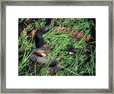 Coachwhip Snakes Waiting Framed Print