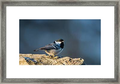Framed Print featuring the photograph Coal Tit's Colors by Torbjorn Swenelius