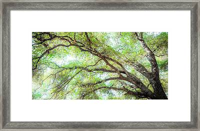 Coast Live Oak Branches Framed Print
