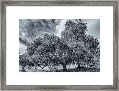 Coast Live Oak Monochrome Framed Print