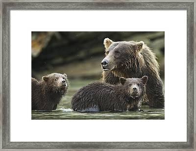 Coastal Brown Bear Spring Cubs  Ursus Framed Print by Paul Souders
