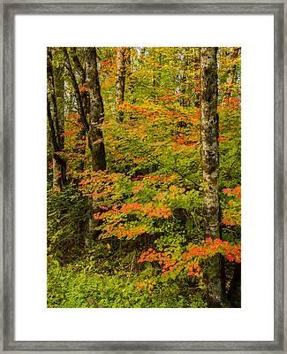 Coastal Vine Maple In Fall Framed Print by Jean Noren
