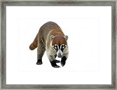 Coatimundi Framed Print