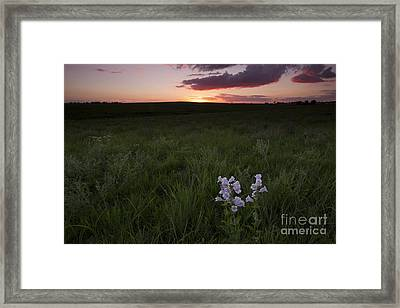 Cobaea Beardtongue At Sunset Framed Print