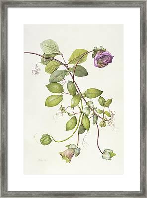 Cobea Scandens Framed Print by Margaret Ann Eden