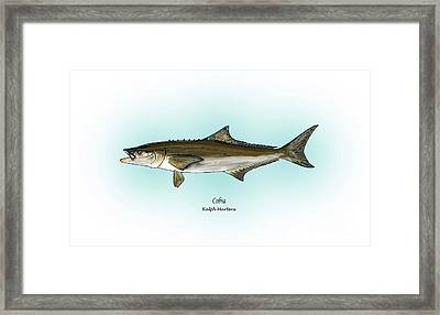Cobia Framed Print by Ralph Martens