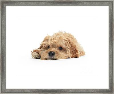 Cockapoo Dog Isolated On White Background Framed Print by Oleksiy Maksymenko