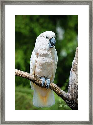 Cockatoo Framed Print