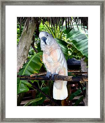 Cockatoo On Perch Framed Print by Chambers and De Forge