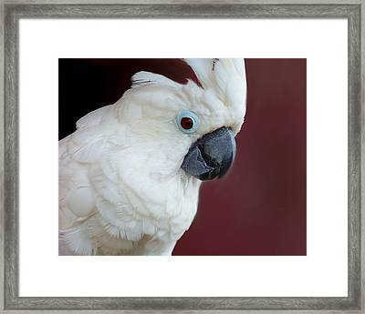 Cockatoo Portrait Framed Print by Jai Johnson