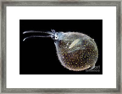 Cockatoo Squid Framed Print by Dant� Fenolio