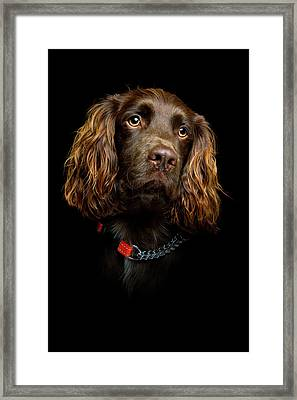 Cocker Spaniel Puppy Framed Print by Andrew Davies