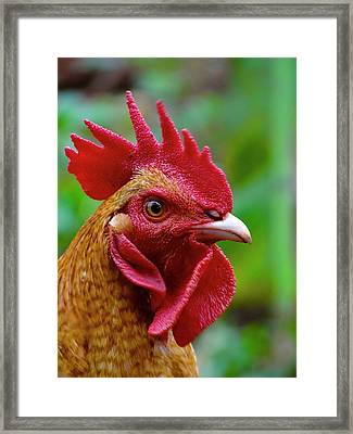 Cockerel Rooster Looks To The Right Close-up Framed Print
