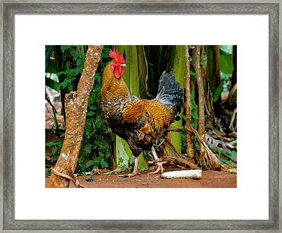 Cockerel Rooster With Corn Framed Print