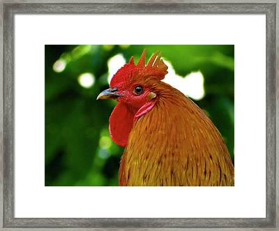Cockerel Rooster With Spike Comb Framed Print