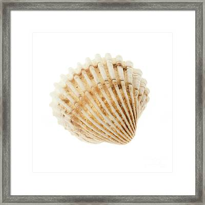 Cockle Shell Framed Print